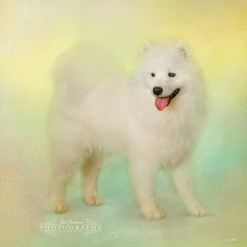 Samoyed In Spring