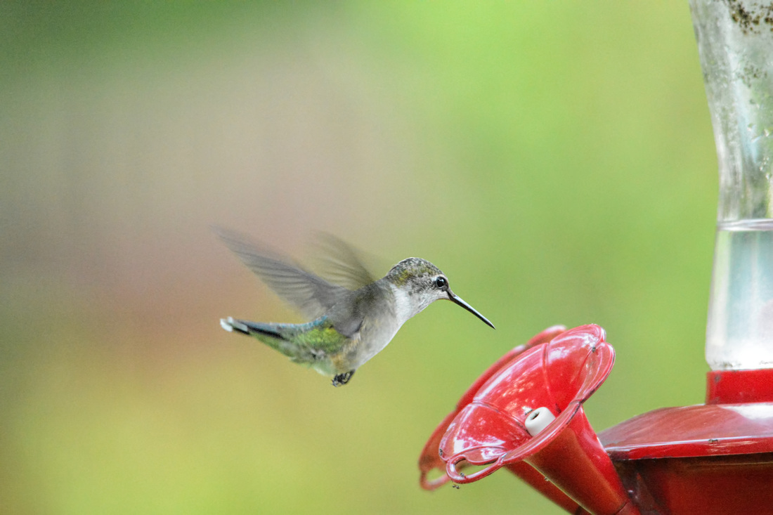 Free Hummingbird Photo