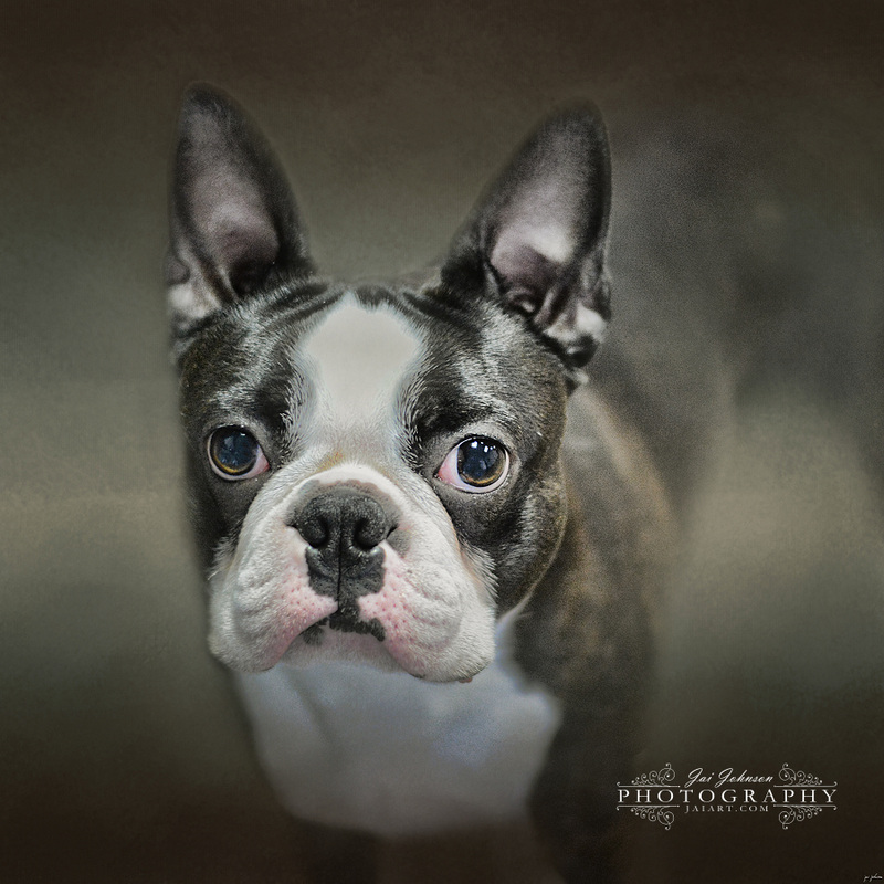 The Face Of The Boston - Boston Terrier Art