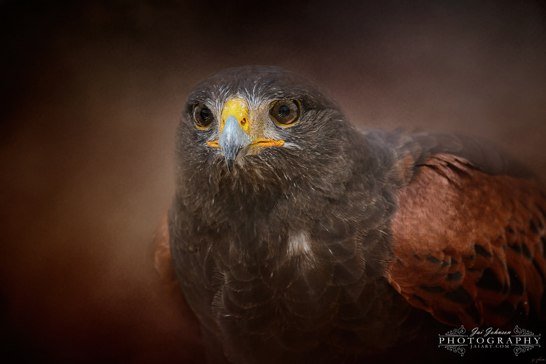 Portrait Of The Harris Hawk