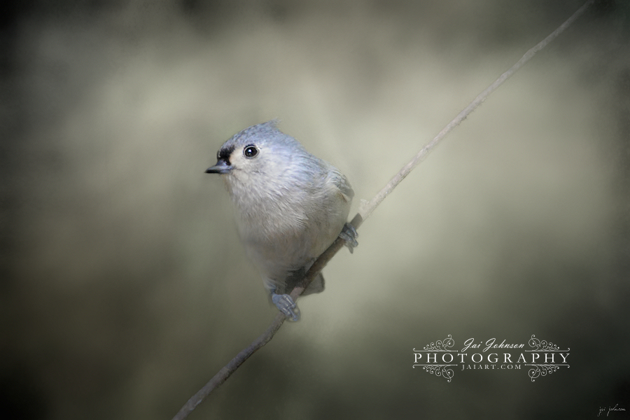 Little Tufted Titmouse