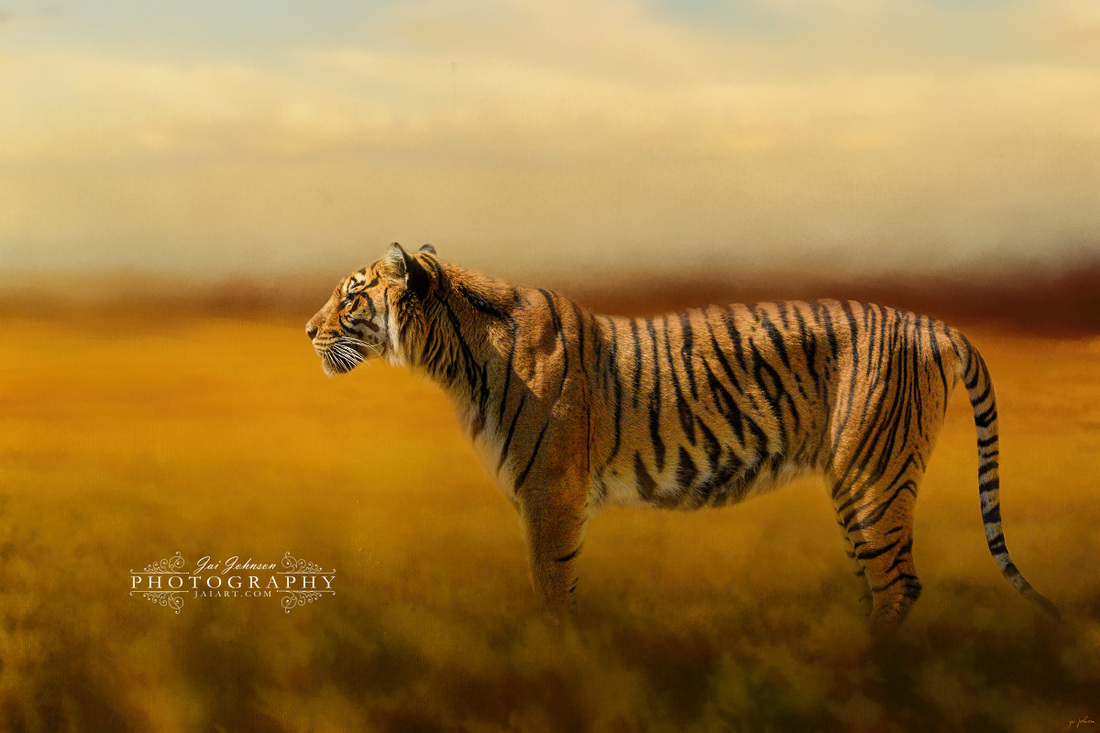 Tiger In The Golden Field