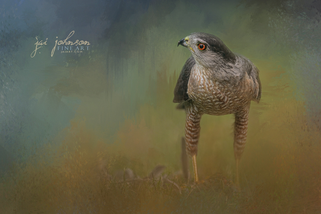 Evening Hawk Wildlife Art