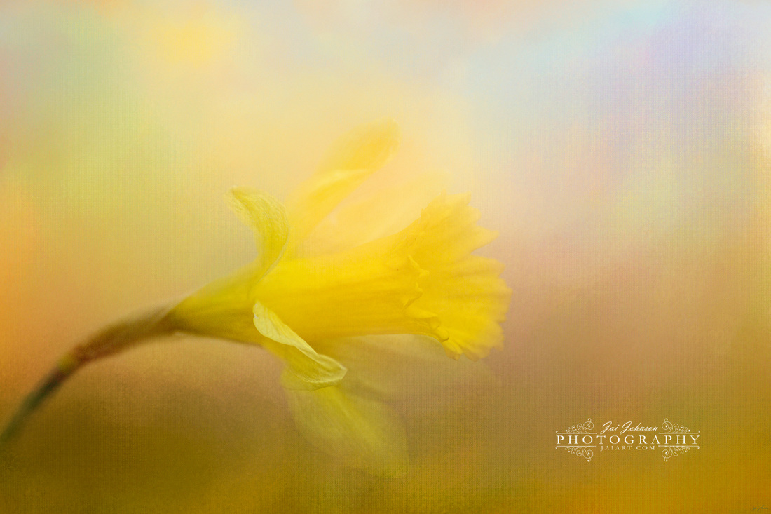 First Spring Bloom Daffodil Art