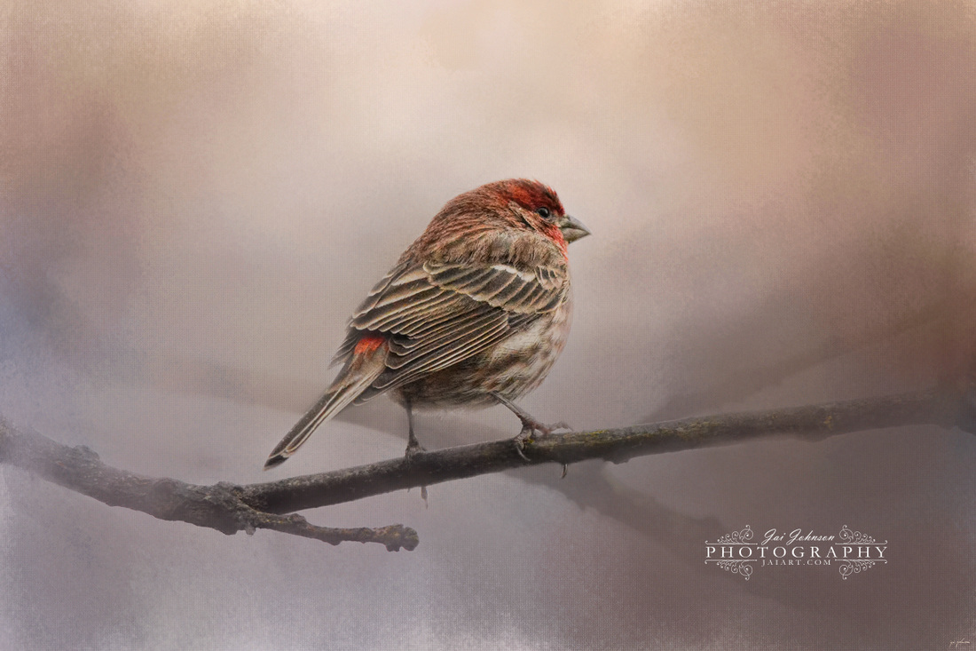 House Finch in January