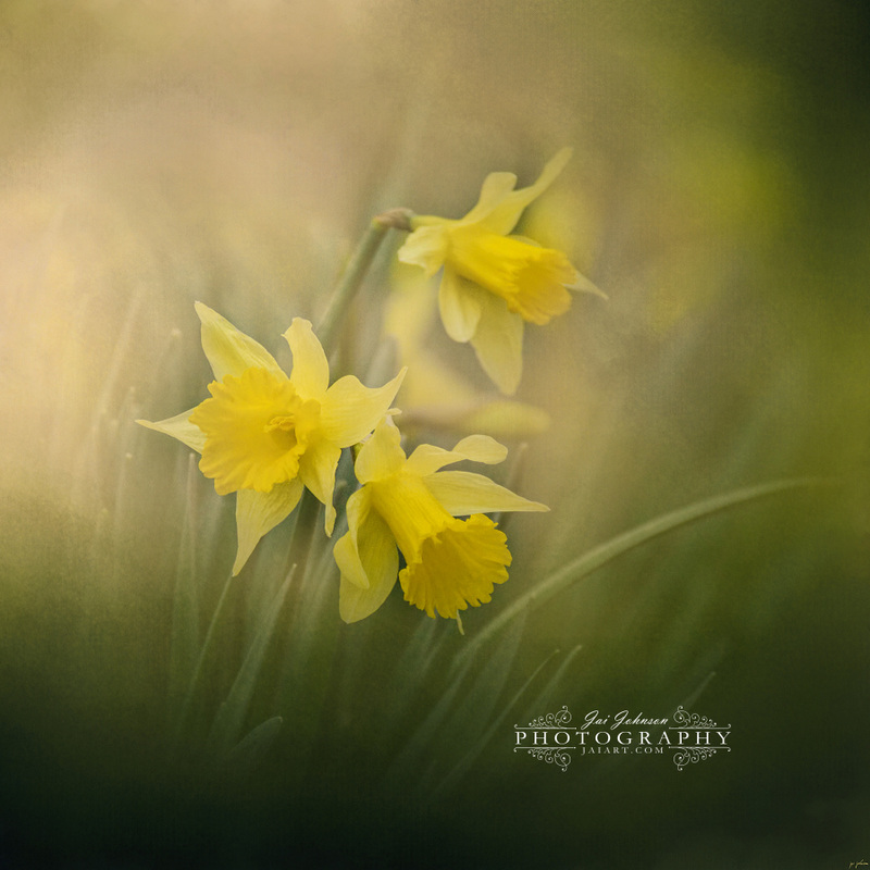 A Spring Morning Welcome Daffodil Flower Art