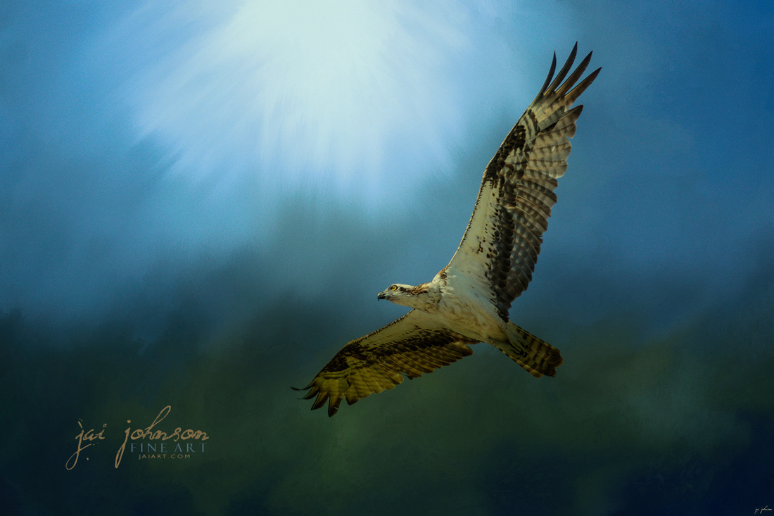 Osprey In The Evening Light