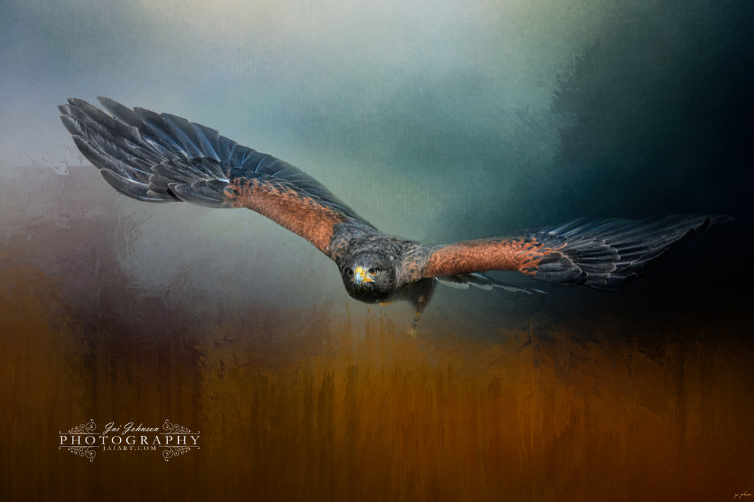 Flight Of The Harris Hawk