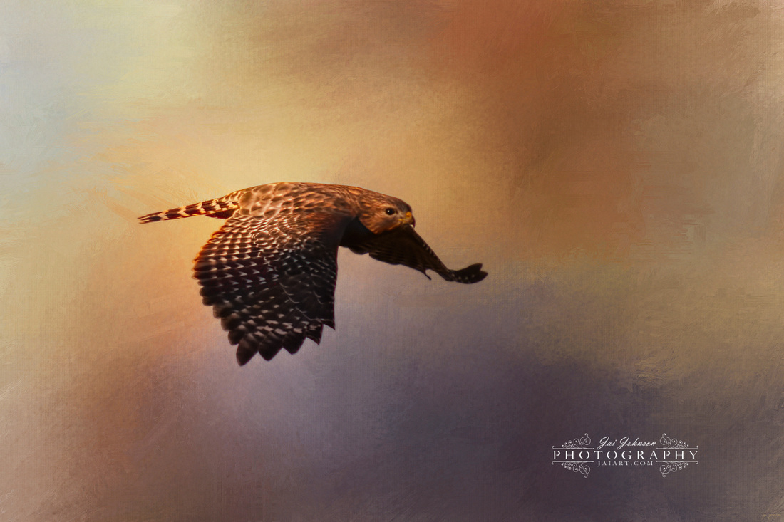 Coming In For The Evening - Hawk Art