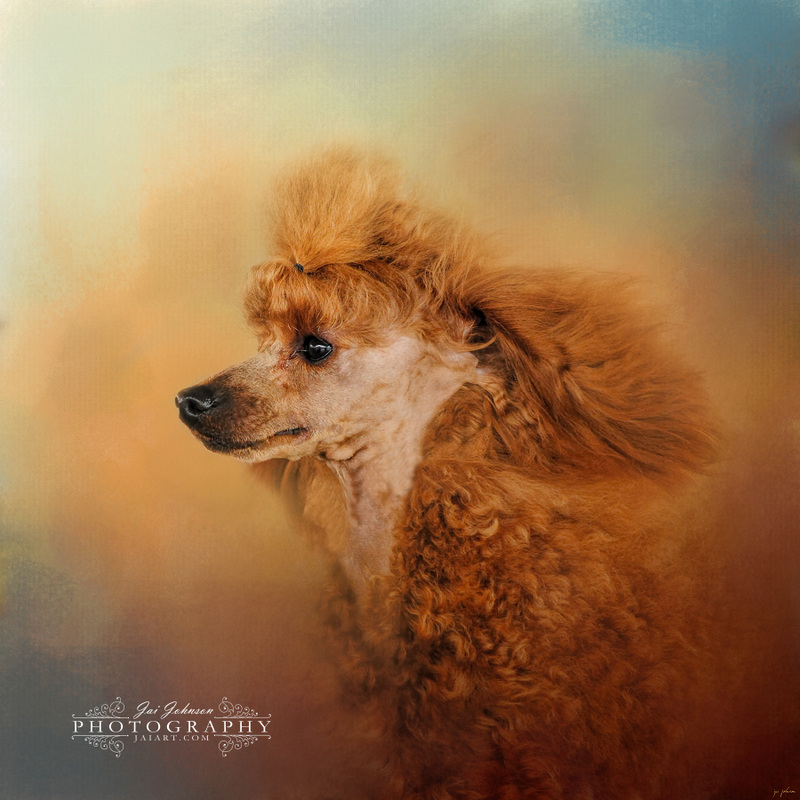 Enjoying The Breeze - Apricot Poodle