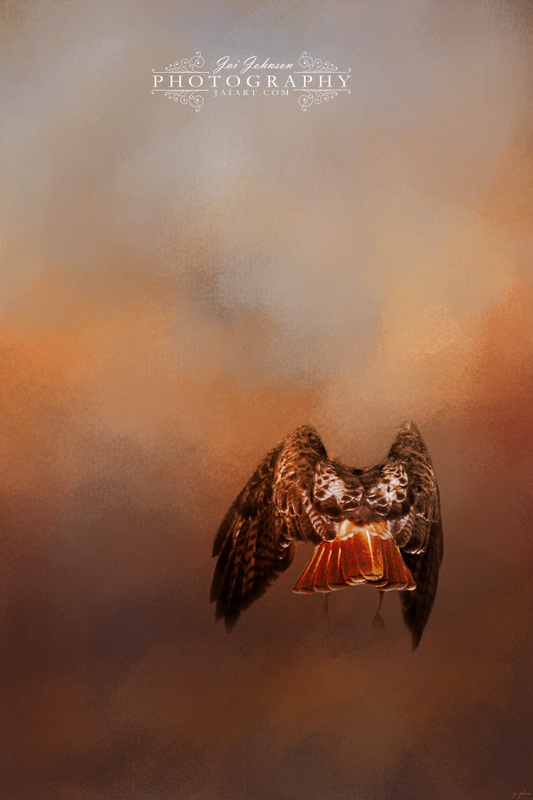 After The Prey - Red Tailed Hawk Art